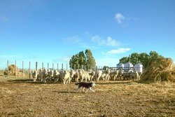 sheepdog caring for the flock of sheep Sheep cattle in the corrals of a field in Buenos Aires