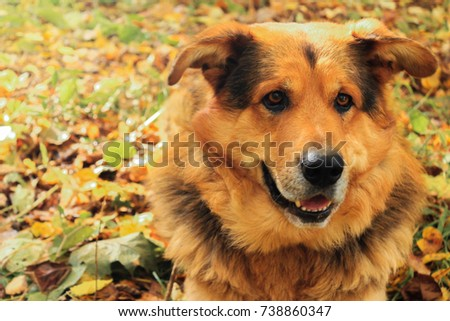 Sheepdog closeup lies on autumn leaves in the forest #738860347
