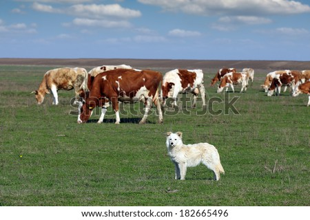 sheepdog with herd of cow in background #182665496