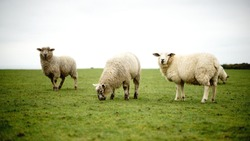 Sheeps and Cows on eco free range farm