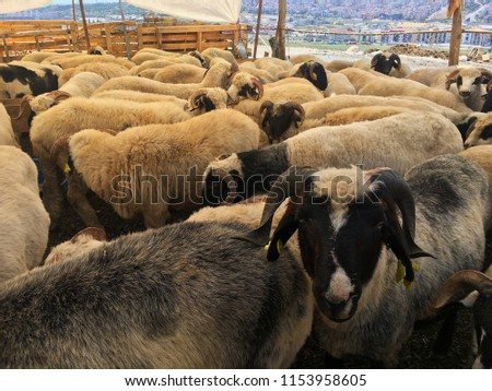 Sheeps are waiting for the buyers at the market for The Festival of Sacrifice.  #1153958605
