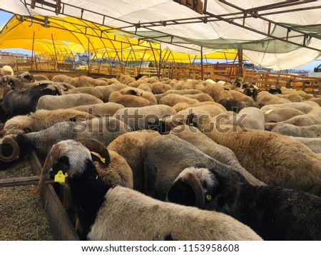 Sheeps are waiting for the buyers at the market for The Festival of Sacrifice.  #1153958608