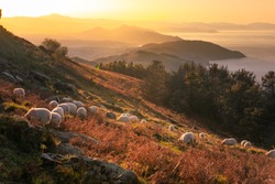Sheeps grazing at the top of Jaizkibel mountain fields; Basque Country.