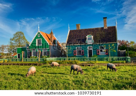 Sheeps grazing near traditional old country farm house in the museum village of Zaanse Schans, Netherlands