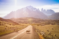 Sheeps herd grazing at sheepfarm on the road to Torres del Paine in Patagonia chilena - Travel wanderlust concept with nature wonder in Chile south america - Warm saturated filter on enhance sunflare