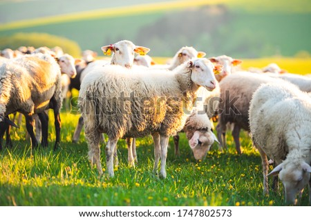 Photo of  Sheeps in a meadow on green grass at sunset. Portrait of sheep. Flock of sheep grazing in a hill.