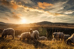 Sheeps in nature, at sunset.