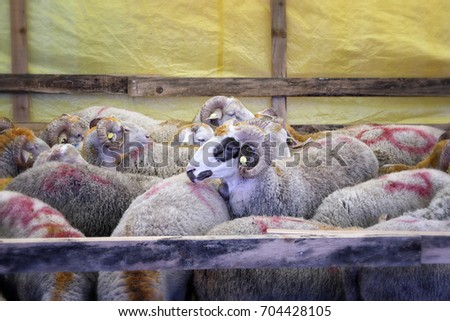 Sheeps in the barn before feast of the sacrifice. Festival of the sacrifice, Turkey #704428105