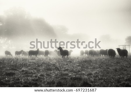 Sheeps in the Mist Very early on an autumn morning and the flock of sheep find their way through the morning mist