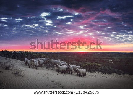 Sheeps in the sand dunes at dramatic and colorful morning sunrise in a danish landscape. Rubjerg Knude Lighthouse, Lønstrup in North Jutland in Denmark, Skagerrak, North Sea