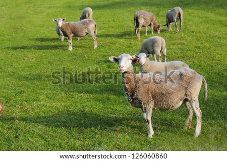 sheeps in the spring in the grass