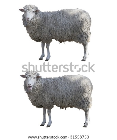 Sheeps isolated whit clipping path