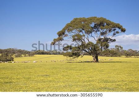 Sheeps on meadow in Kangaroo Island, Australia