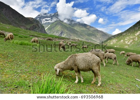 Sheeps with beautiful view on the way from Kargil to Zanskar, Ladakh, India #693506968
