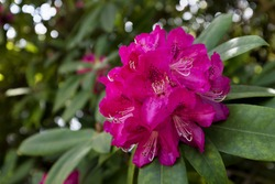 Sheffield Park Rhododendron