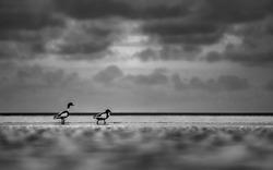 Shelducks at the beach (black and white photo)