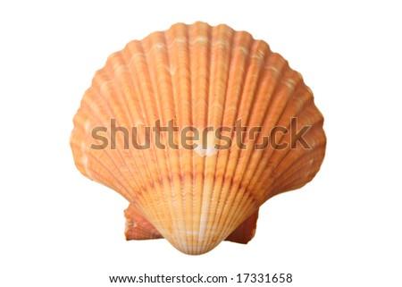 Shell isolated against white background - stock photo