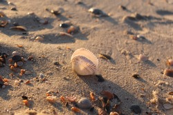Shell on the sand near the sea