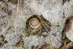 Shell with a snail lying in the foliage among the snow