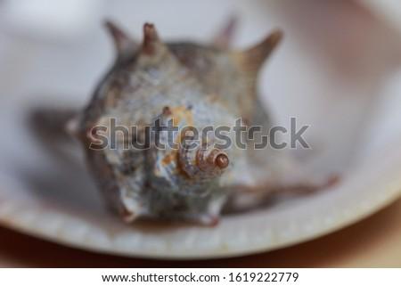 shellfish, Sea Snail Shell in the clam shell