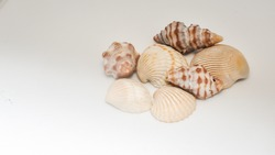 shells photo with plain background and shell picked from beach sea life