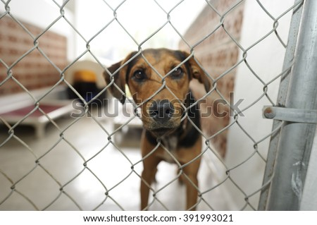 Shelter dog is is a beautiful dog in an animal shelter looking through the fence wondering if anyone is going to take him home today.