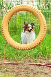 Sheltie blue merle or marbled dog about to jump over the ring at the agility training ground on background of green grass