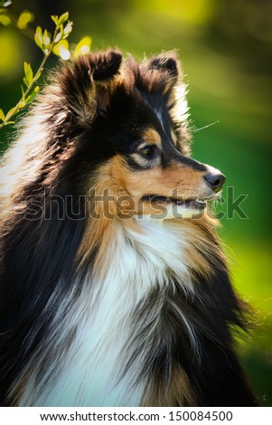sheltie collie dog on nature