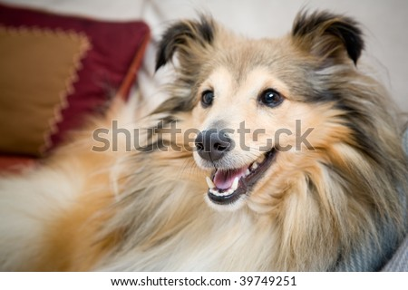 Sheltie laying on the couch