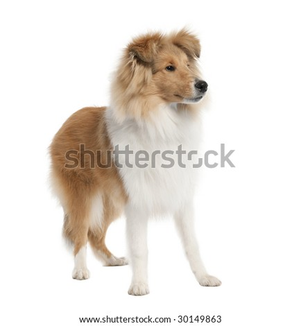 sheltie (5 months old) in front of white background #30149863