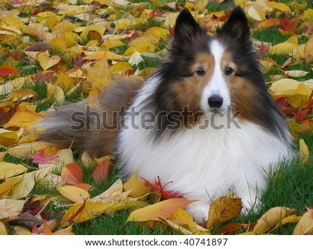 Sheltie on bed of yellow leaves