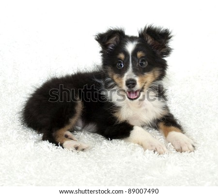 Sheltie (Shetland Sheepdog) puppy on a white background.