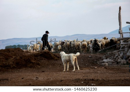 Shepherd and shepherd dog is watching the sheep herd and driving them for grazing in nature in front of the mountains. Rural life in the east of Turkey. Lambs will be sold to sacrifice when grow up. #1460625230