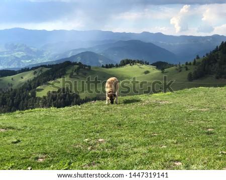 "Shepherd Dog, A dog breed named by ""Sivas Kangal"" #1447319141"