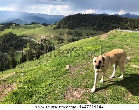 "Shepherd Dog, A dog breed named by ""Sivas Kangal"" #1447319144"