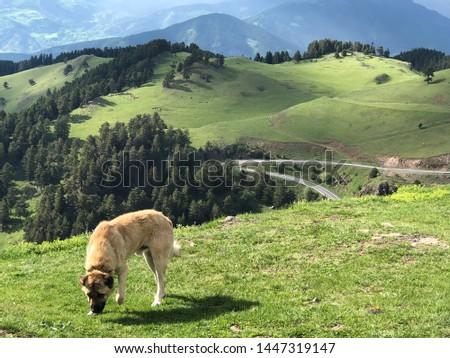 "Shepherd Dog, A dog breed named by ""Sivas Kangal"" #1447319147"