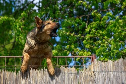 Shepherd dog barks behind a fence on summer day