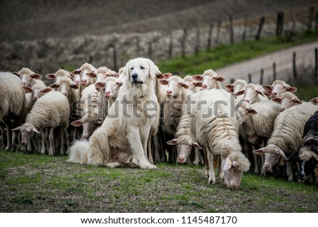Shepherd dog guarding and leading the sheep flock #1145487170