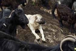 shepherd dog guarding herd of goats. leader shepherd dog