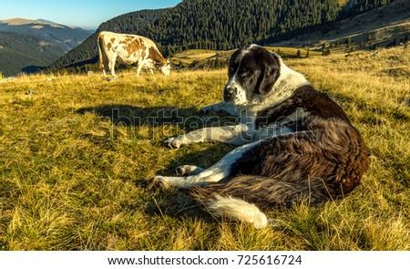 Shepherd dog guarding the cow  #725616724