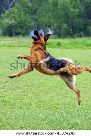 Shepherd dog jumping