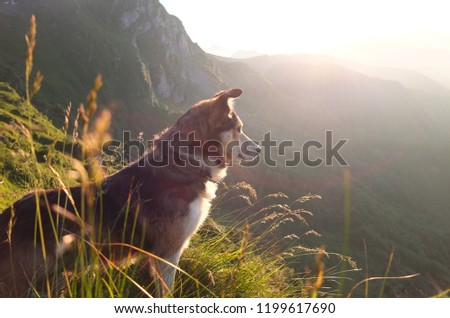 Shepherd dog looking towards the setting sun amidst tall grass in the Pyrenees mountains, South of France Photo stock ©