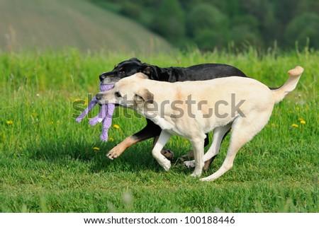 Shepherd Dog Mix plays with toy