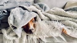 Shepherd Dog Sleeping on Sofa Hiding Wrapped up in Blankets
