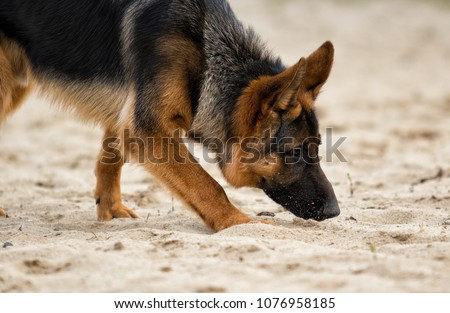 Shepherd dog sniffing a trail