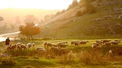 Shepherd herding sheep at sunrise across the pasture
