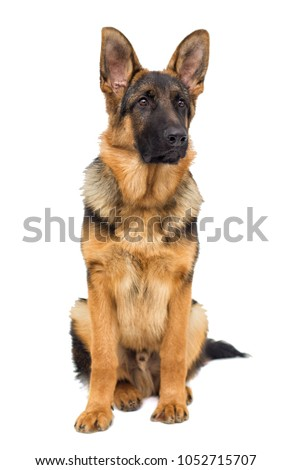 shepherd puppy looking #1052715707