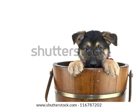 Shepherd puppy that looks like he is playing peek a boo in an old bucket on a white background with copy space.