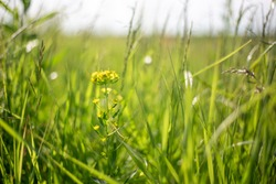 shepherd's plant bag with yellow flowers on a blurred background of green grass