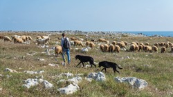 Shepherd with a herd of goats and sheep in Apulia, Italy